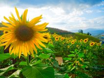 Sunflowers in Thailand, It`s beautiful when full bloom royalty free stock photography