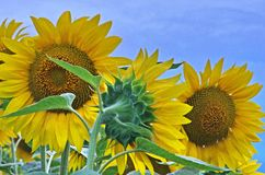Sunflowers. Three sunflowers in three different positions posing in front of my camera with an azure sky as bakground Stock Photos