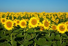 Sunflowers to the horizon. A field of bright yellow sunflowers stretches to the horizon. Not against the blue sky they look like lots of little suns Royalty Free Stock Photography