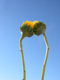 Sunflowers together. Two sunflowers are touching each other Stock Photo