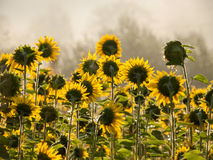 Sunflowers toward the sun. In the natural environment of sunflowers in the morning stock image