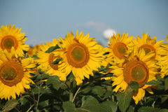 Sunflowers with Town Water Tower Behind royalty free stock photos