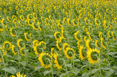 Sunflowers turn in harmony back stock photography
