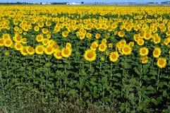 Sunflowers turn the sun Stock Photos