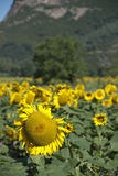 Sunflowers on a Tuscan Meadow Royalty Free Stock Images