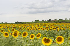 Sunflowers in Tuscany Royalty Free Stock Photos