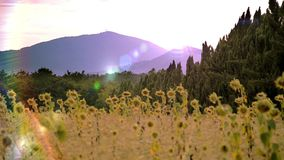 Sunflowers in tuscany. Agriculture, farming. Landscape with sunflowers stock video footage