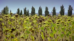 Sunflowers in tuscany. Agriculture, farming. Landscape with sunflowers stock video