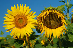 Sunflowers in Tuscany Countryside Stock Photos