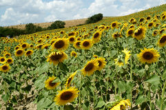 Sunflowers in Tuscany farm royalty free stock photography