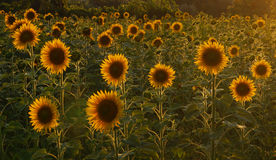 Sunflowers in Tuscany. Stock Image