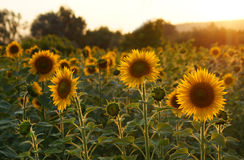 Sunflowers in Tuscany. Stock Photography