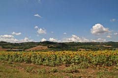 Sunflowers in Tuscany, Italy Stock Photography