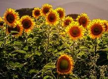Sunflowers. Tuscany Italy Maremma Outdoor  Travel Stock Photos