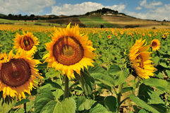 Sunflowers in Tuscany, Italy Royalty Free Stock Photography