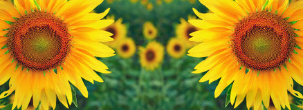 Sunflowers twin in the field Stock Photo