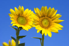 Sunflowers. Two sunflower with blue sky royalty free stock photo