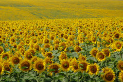 Sunflowers Tzunami. Bulgarian sunflower in Ruse regionn Royalty Free Stock Photography