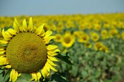 Sunflowers in the Ukrainian field. Bright yellow sunflowers in the summer on the Ukrainian field Stock Photo