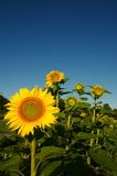 Sunflowers under blue sky. A few sunflowers under blue skies Royalty Free Stock Image