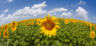 Sunflowers under the blue sky. Beautiful rural scene Royalty Free Stock Image