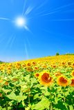 Sunflowers under blue sky Stock Photography