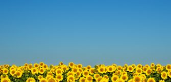 Sunflowers under the blue sky. A field of bright yellow sunflowers stretches to the horizon. Not against the blue sky they look like lots of little suns Stock Image