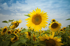 Sunflowers under a blue sky Stock Images