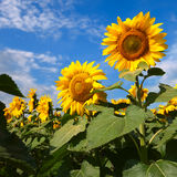 Sunflowers under blue sky with clouds Royalty Free Stock Photography