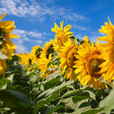 Sunflowers under blue sky with clouds Royalty Free Stock Photos