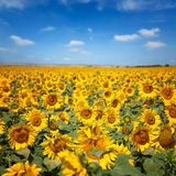 Sunflowers under blue sky with clouds Royalty Free Stock Image