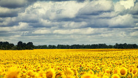 Sunflowers under the dramatic sky. Beautiful rural scene Stock Images