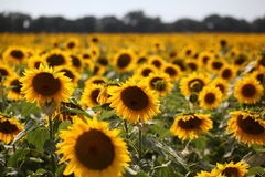 Sunflowers under the happy sun. Happy sunflowers under the sun Royalty Free Stock Image