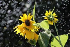 Sunflowers under the sprinkler Royalty Free Stock Image