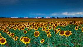 Sunflowers under a stormy sky by Denver airport Stock Photos