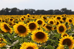 Sunflowers under the sun. Sunflower under the sun light Royalty Free Stock Photography