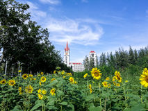 Sunflowers in the University. Sunflowers in Assumption University in front of clock tower Royalty Free Stock Photography