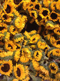 Sunflowers Up Close Royalty Free Stock Image