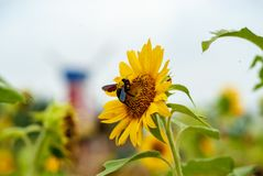 A bumblebee stealing nectar from sunflower royalty free stock images