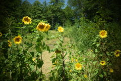 Sunflowers in village royalty free stock photo