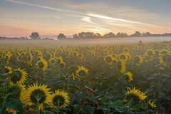 Sunflowers waiting for sunrise on a misty morning. Mist floating across 11 acres of sunflowers in a field at dawn, the heads are facing east waiting for the sun Stock Photo