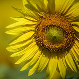 Sunflowers Royalty Free Stock Photos