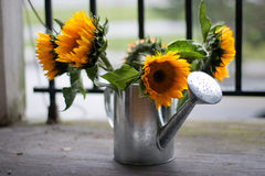 Sunflowers and watering can Royalty Free Stock Photo