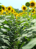 Sunflowers Way. In Sunflower Field Thailand Stock Photography
