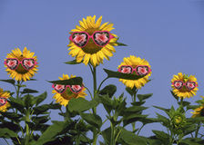 Sunflowers wearing sunglasses Stock Photos