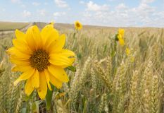 Sunflowers and Wheat. General image of rural farmland with sunflowers to add color and interest Stock Image
