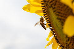 Sunflowers whit bee. Sunflowers in the field whit an bee royalty free stock photo