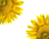 Sunflowers on white royalty free stock photography