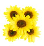 Sunflowers on white. Pattern of  five sunflowers.isolated Stock Images
