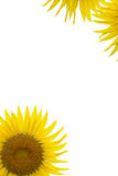 Sunflowers On White #2 Royalty Free Stock Photos